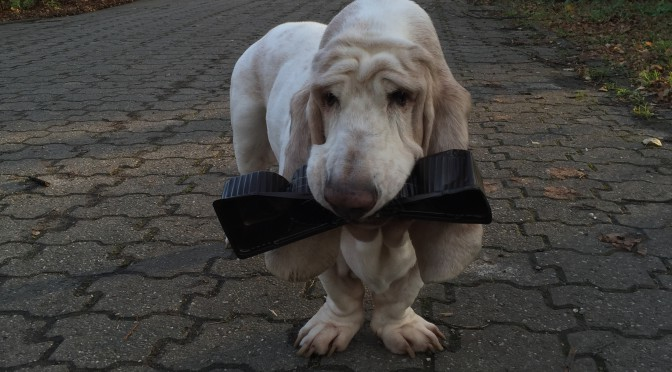 Basset, Kimmi, Bassethound, Kennel,Jagdhund, Beagle,Bergheim,Hundezucht,2016,Erftkreis