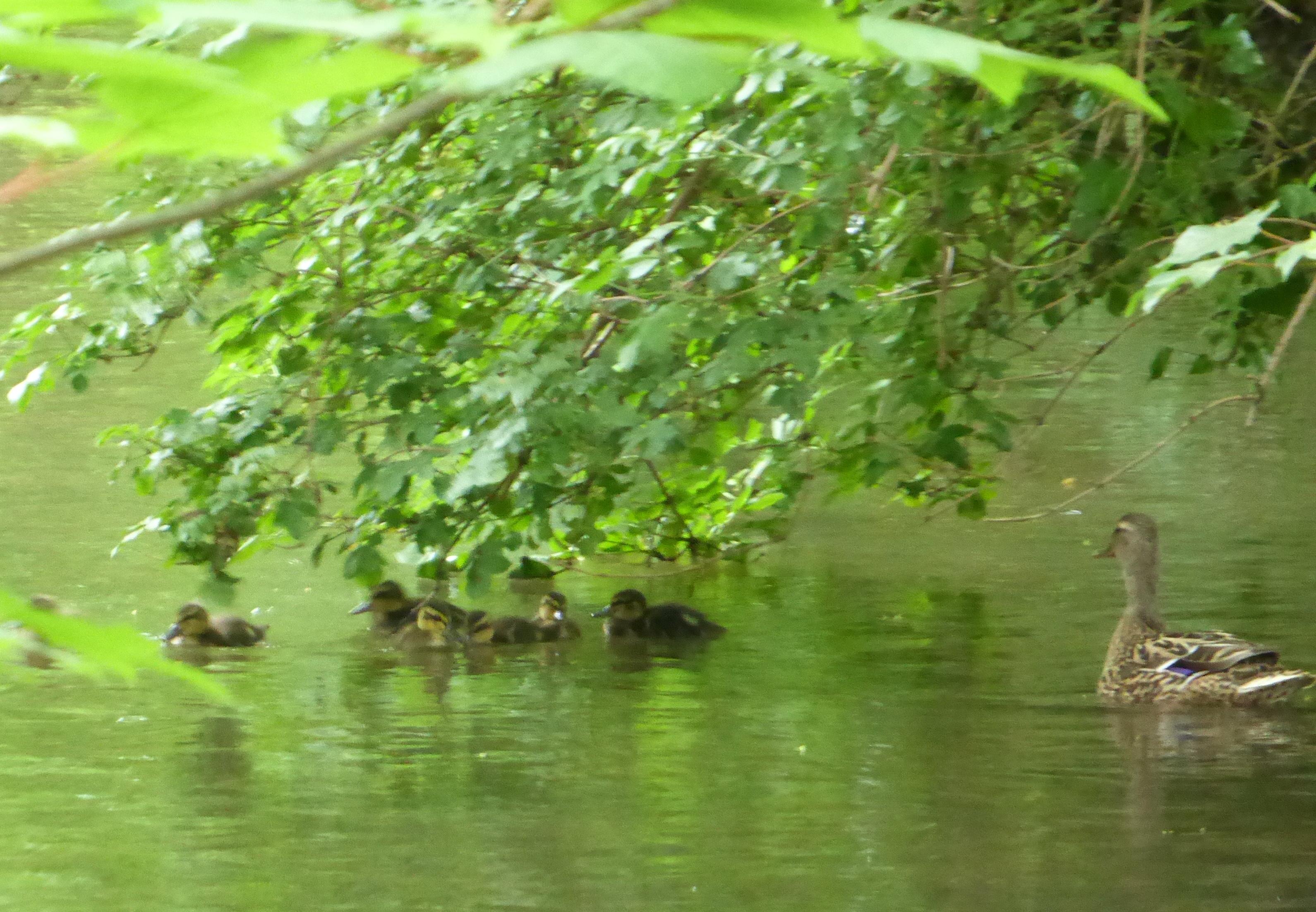 Entenmutter mit sieben Jungen