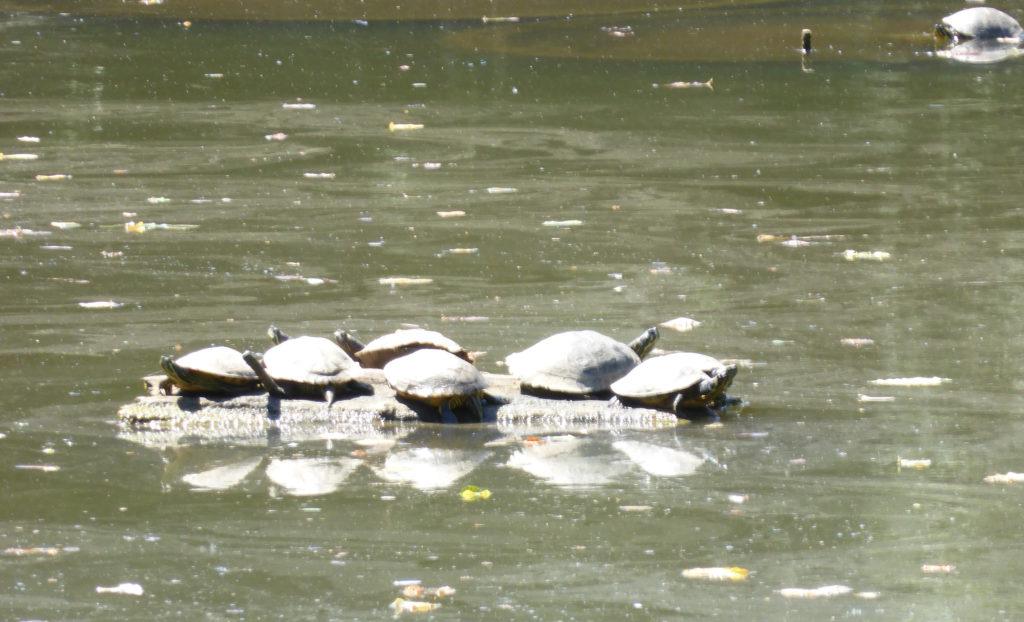 Schildkröten in großen Teich